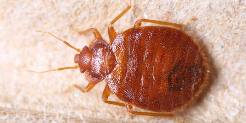 bed bug sitting on a white background to represent bed bug treatments in stockton