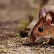 mouse crawling on ground