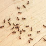 Ants crawling in kitchen